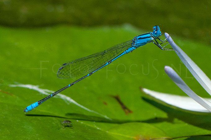 Pseudagrion microcephalum - male