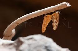 Dryas iulia3 - Copula
