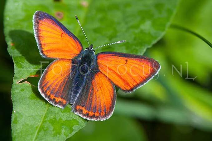 Lycaena hippothoe - Rode vuurvlinder1