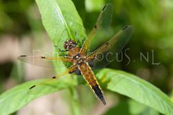 Libellula quadrimaculata - Viervlek1- female