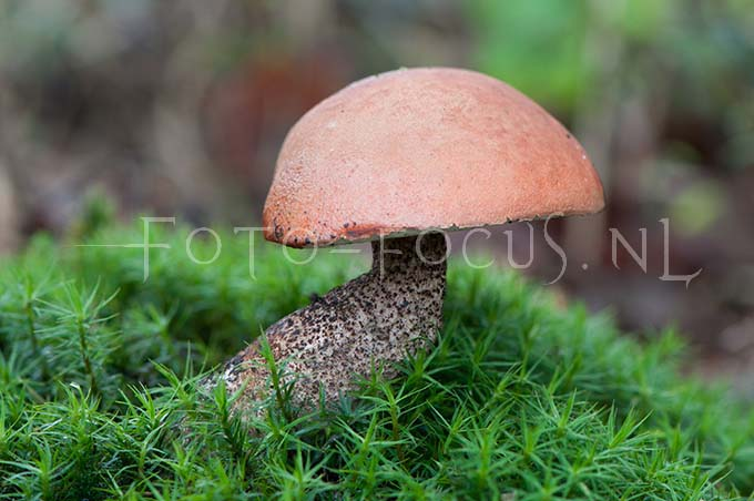 Leccinum quercinum - Eikeboleet