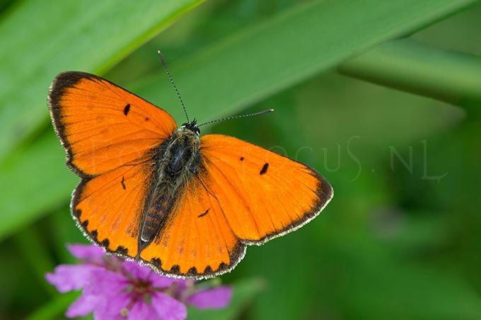Lycaena dispar batava - Grote vuurvlinder1 -male