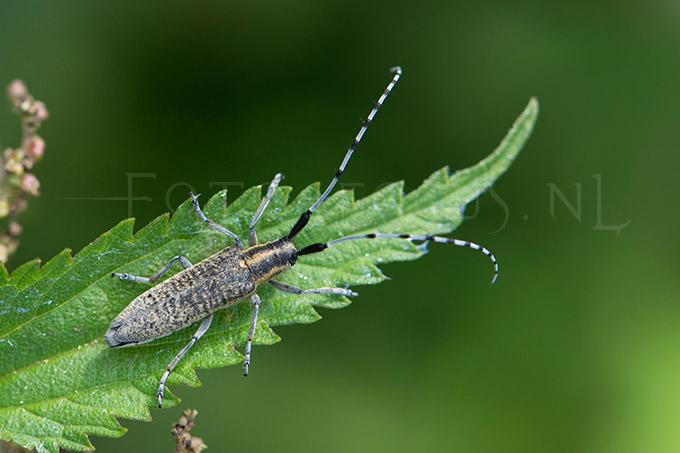 Agapanthia villosoviridescens - Gew. Distelboktor
