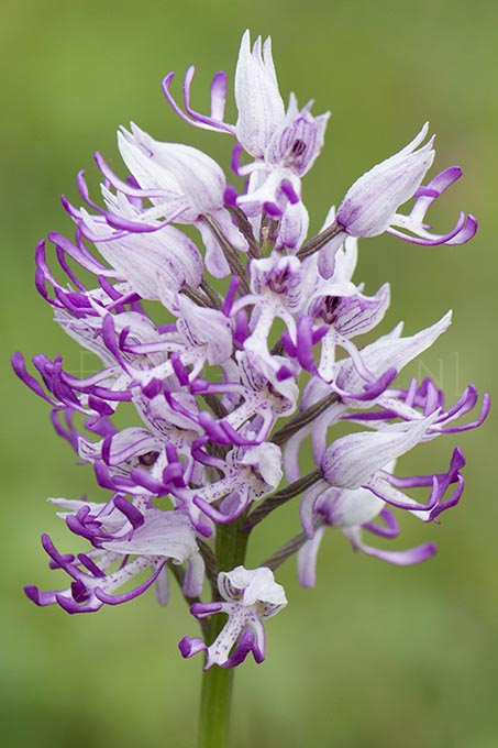 Orchis simia - Aapjesorchis2