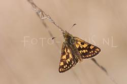 Carterocephalus palaemon - Bont dikkopje1