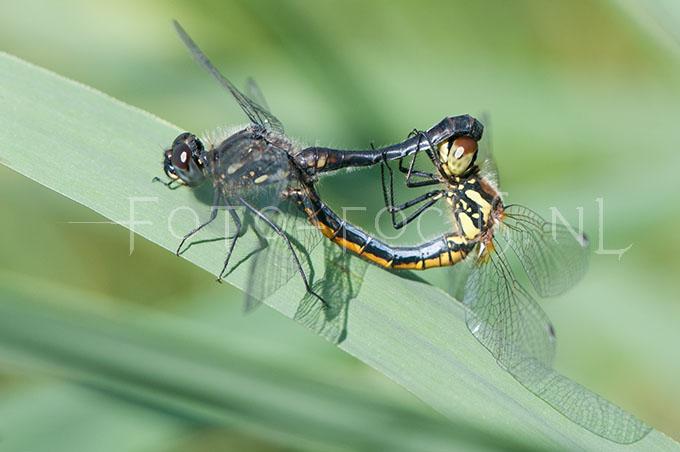 Sympetrum danae - Zwarte Heidelibel3- copula