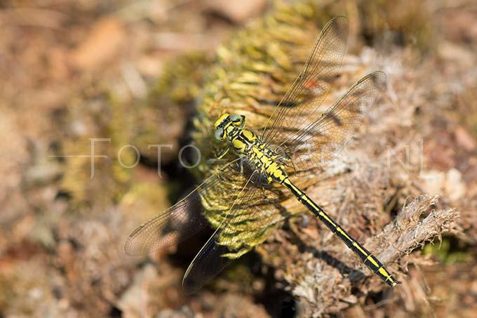 Gomphus pulchellus - Plasrombout3 -male