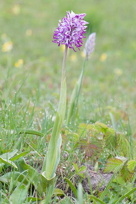 Orchis militaris x Orchis simia - Soldaatje x Aapjesorchis1