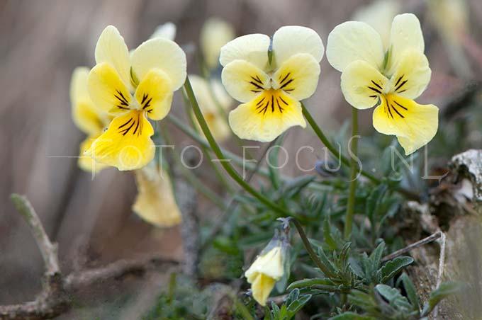Viola lutea calaminaria - Zinkviooltje1