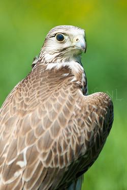 Falco tinnunculus - Torenvalk1 -male