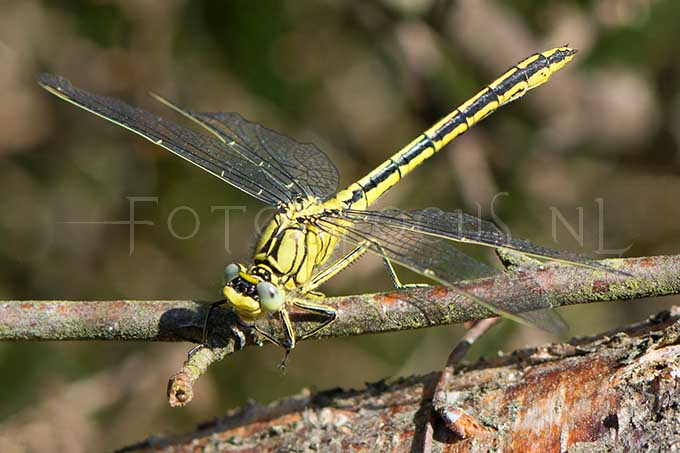 Gomphus pulchellus - Plasrombout2 -female