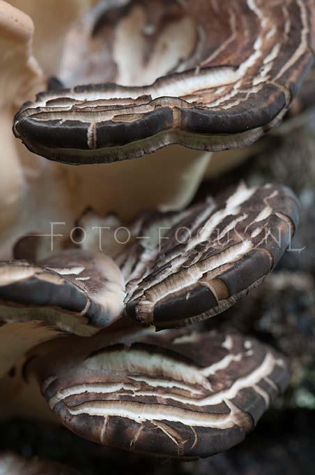 Meripilus giganteus - Reuzenzw2