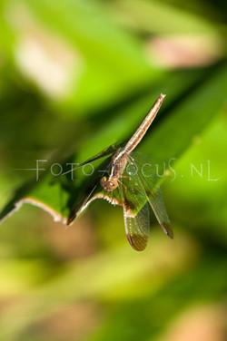 Neurothemis tullia tullia1 - female
