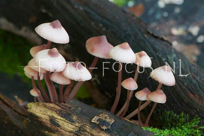 Mycena flavescens - Geelsnedemycena
