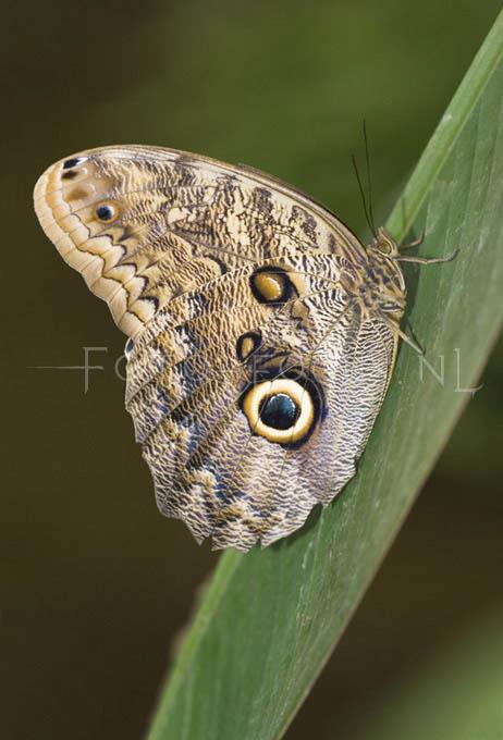 Caligo memnon - Uilvlinder