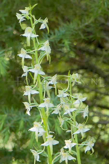 Platanthera chlorantha - Bergnachtorchis2