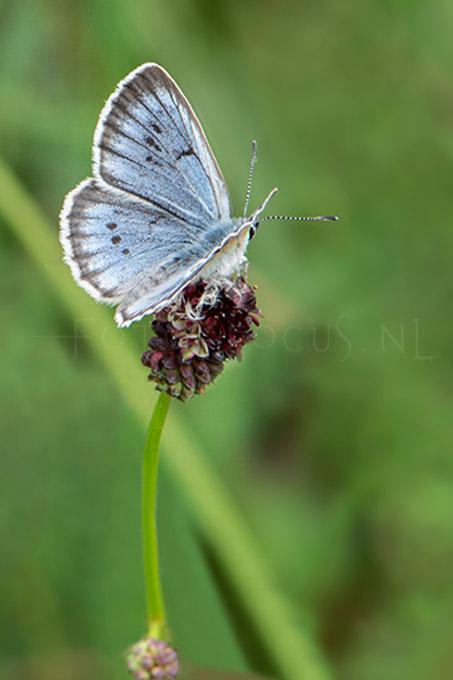 Phengaris teleius - Pimpernelblauwtje 3 -male