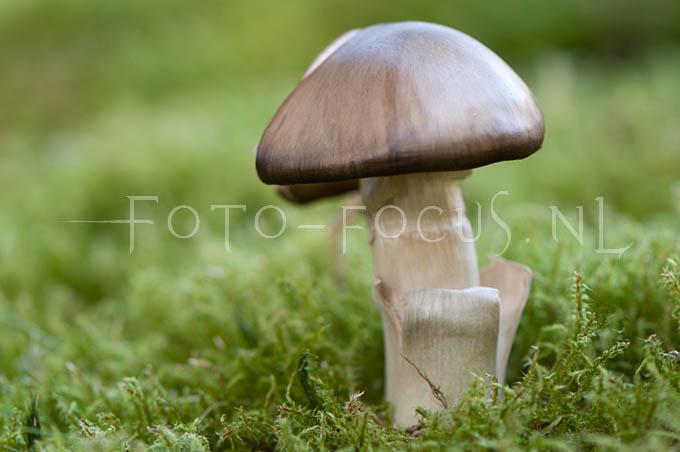 Entoloma sericeum - Bruine satijnzw1