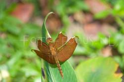 Neurothemis fulvia1 - female