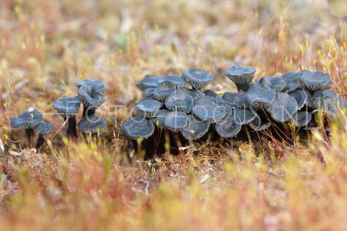 Omphalina clorocyanea- Blauwgroen trechtertje