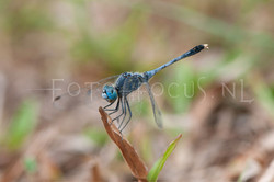 Diplacodes trivialis - male