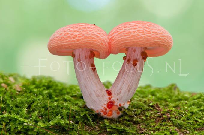 Rhodotus palmatus - Zalmzw3
