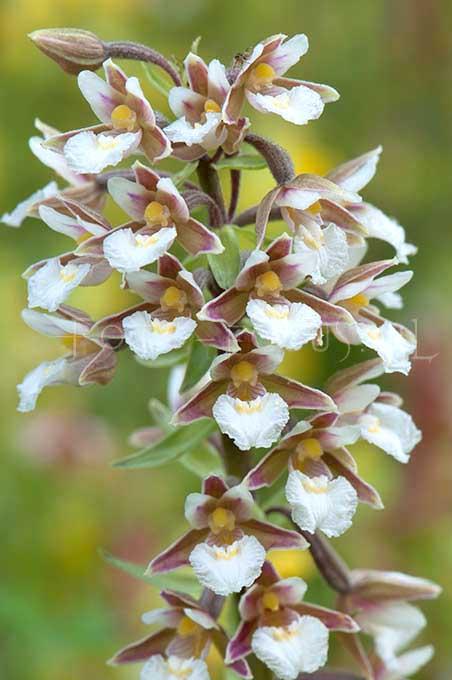 Epipactis palustris - Moeraswespenorchis2