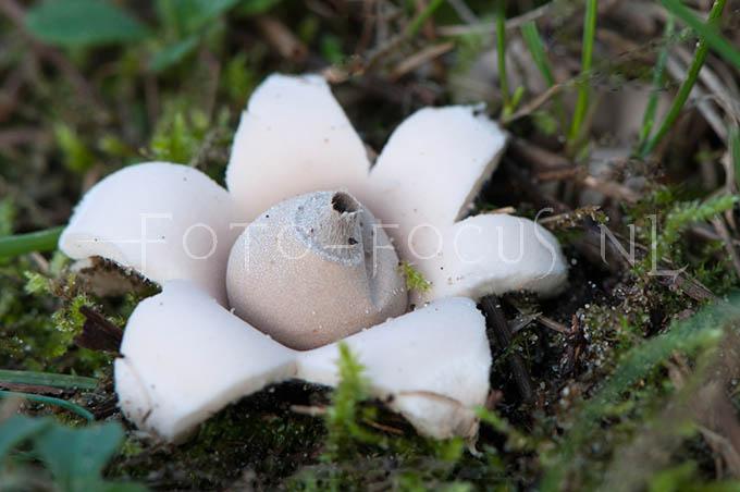 Geastrum saccatum - Viltige aardster