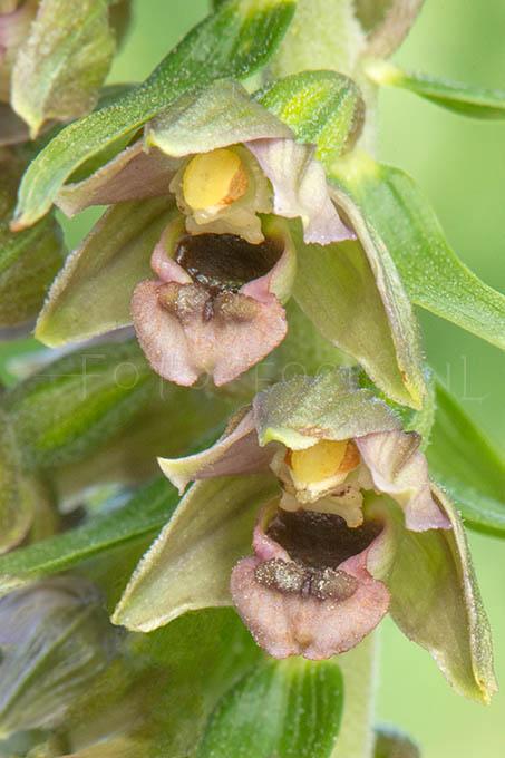 Epipactis helleborine subsp. neerlandica - Duinwespenorchis 3