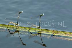 Platycnemis pennipes- Blauwe Breedscheenjuff.4