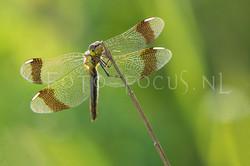 Sympetrum pedemontanum - Bandheidelibel2 -female