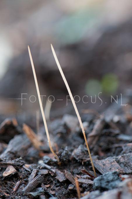 Macrotyphula juncea - Draadknotszw2.