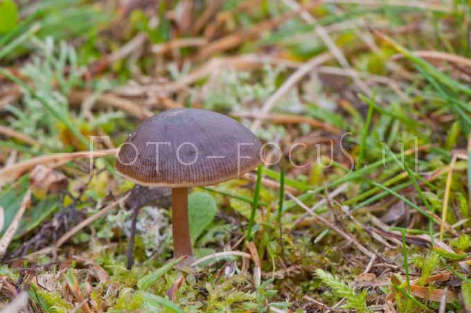Psilocybe montana - Zandkaalkopje