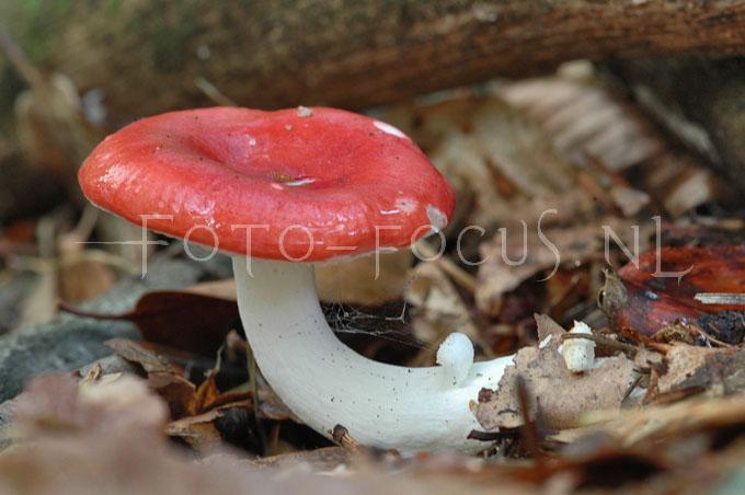 Russula emetica - Braakrussula