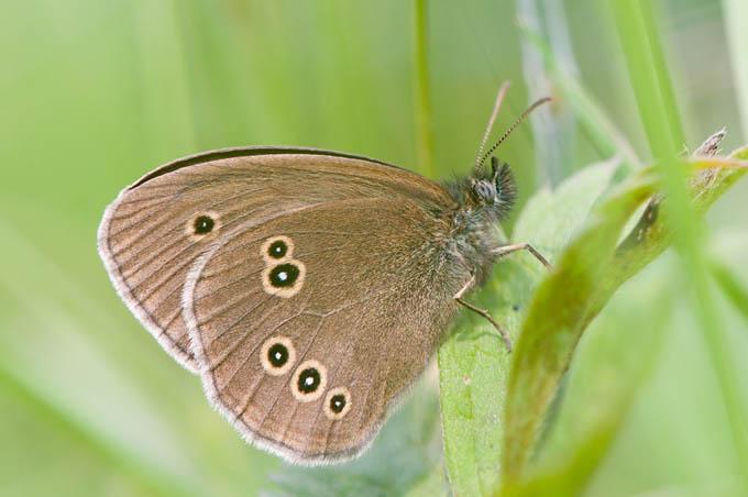 Aphantopus hyperantus - Koevinkje2