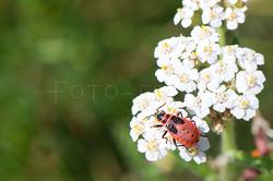 Pyrrhocoris apterus -nimf- Vuurwants