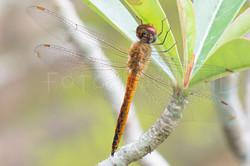 Pantala Flavescens - Wereldzwerver -male