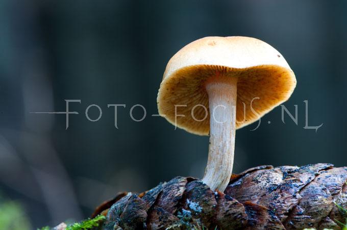 Baeospora myosura - Muizenstaartzw2