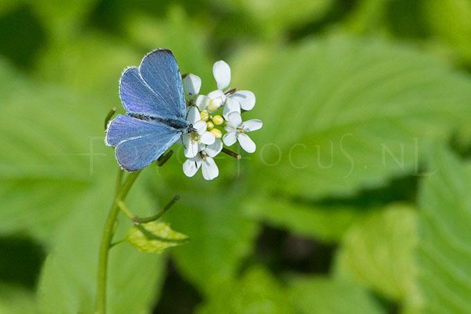 Celastrina argiolus - Boomblauwtje3 -male