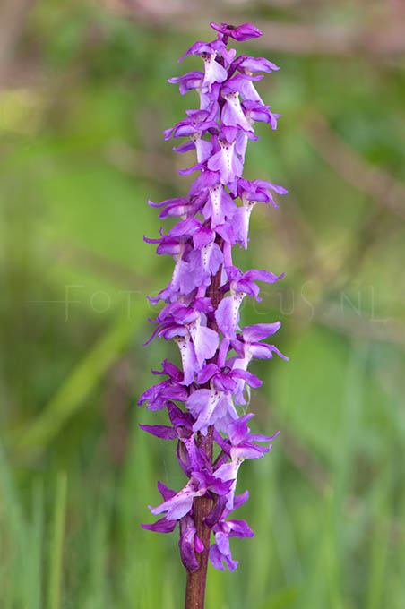 Orchis mascula - Mannetjesorchis1