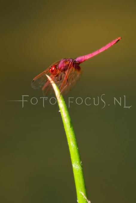 Trithemis aurora - male