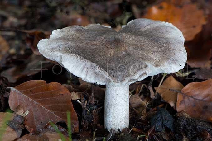 Tricholoma sciodes - Bitterscherpe ridderzw1