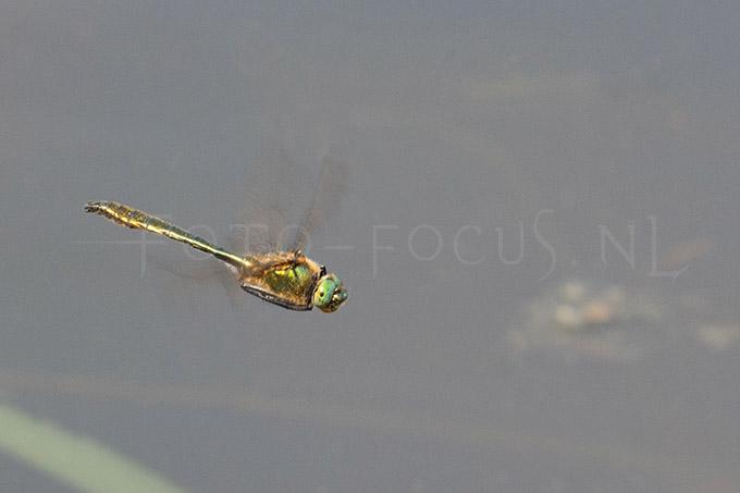 Cordulia aenea - Smaragdlibel3 -male