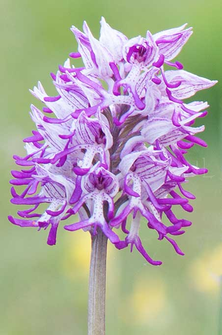Orchis militaris x Orchis simia - Soldaatje x Aapjesorchis2