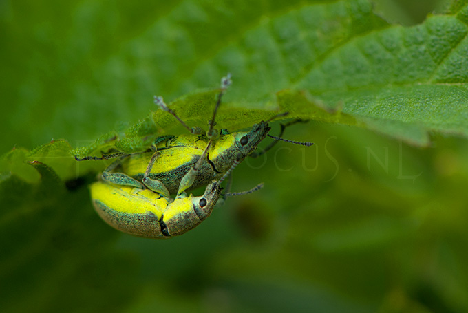 Chlorophanus viridis - Groene snuitkever -copula