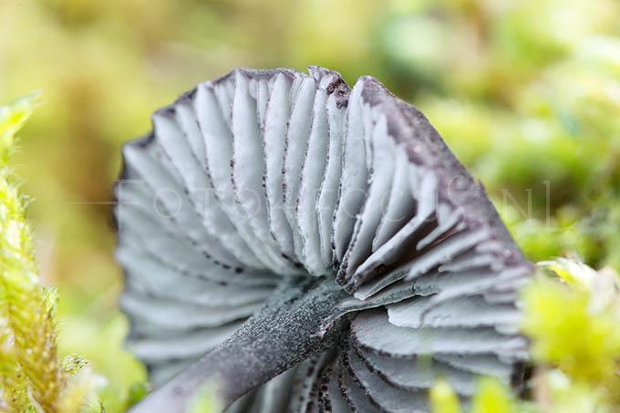 Entoloma serrulatum - Zwartsneesatijnzw.2