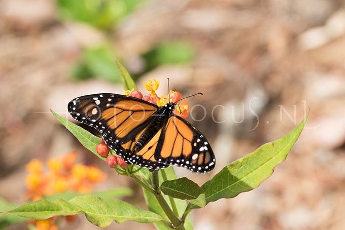 Danaus plexippus - Monarchvlinder1