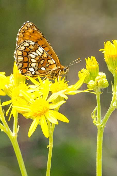 Melitaea athalia - Bosparelmoervlinder2