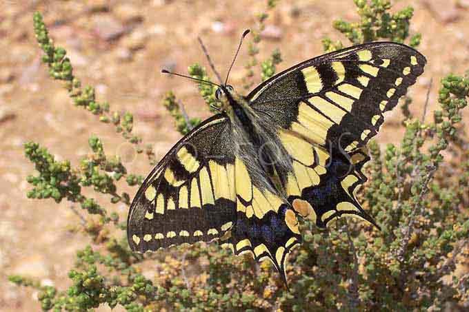 Papilio machaon - Koninginnepage1