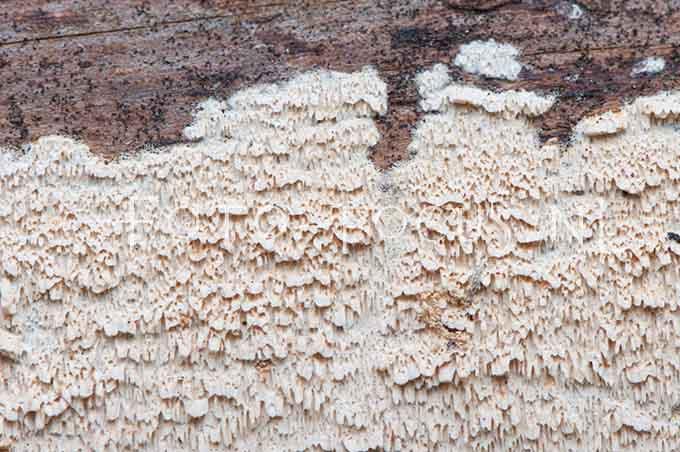 Meruliopsis taxicola - Rode plakkaatzw2